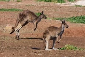 Kangaroos walking