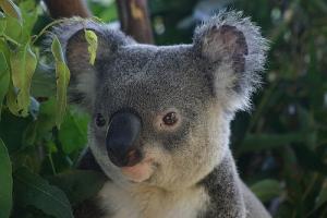 Koala @ Australia Zoo