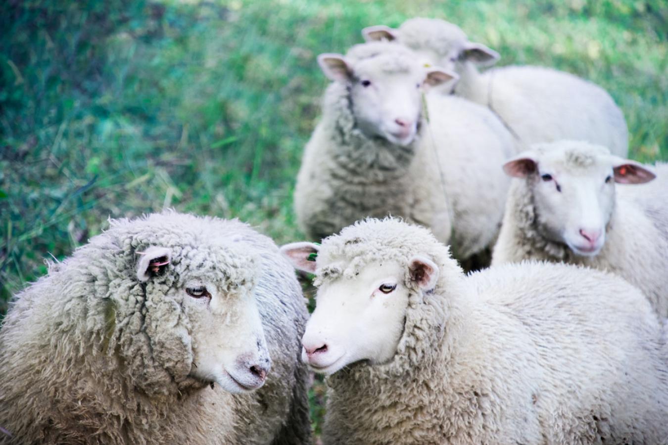 UK Sheep Industry